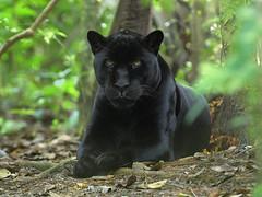 american black bear(0.0), jaguar(0.0), animal(1.0), big cats(1.0), black panther(1.0), mammal(1.0), fauna(1.0), whiskers(1.0), wildlife(1.0),