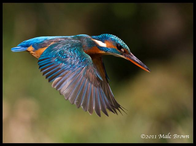 Kingfisher Flying Kingfisher(fl...