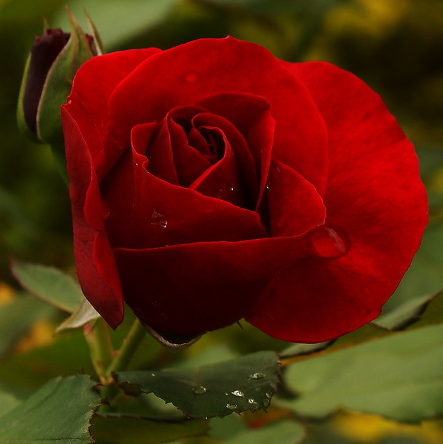RAIN'S DAY. RED ROSE
