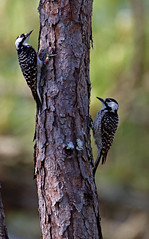 RED-COCKADED WOODPECKERS008