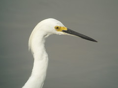 Snowy Egret, J .N. Ding Darling NWR, FL