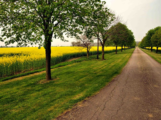 Road, rapeseed and trees