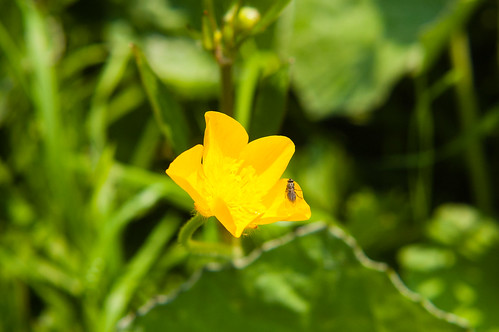 Buttercup with small insect