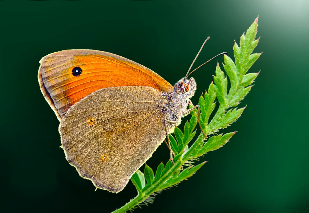 butterfly on a green background      !!! | ignazio Corda