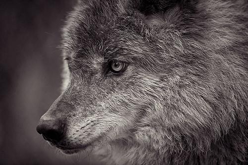 Wolf 13
