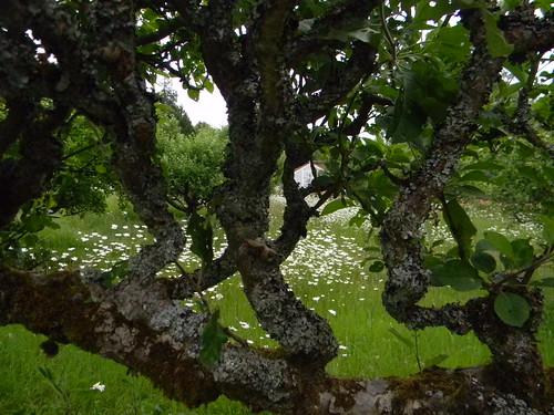 Lichen on applle tree