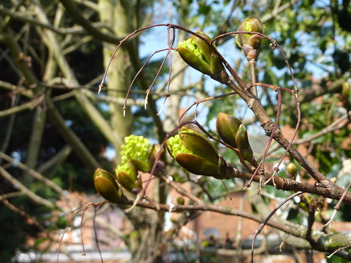 Sycamore buds