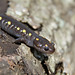 Small photo of Spotted Salamander (Ambystoma maculatum)