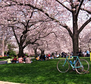cherry trees, Bethesda, MD (c2012, FK Benfield)