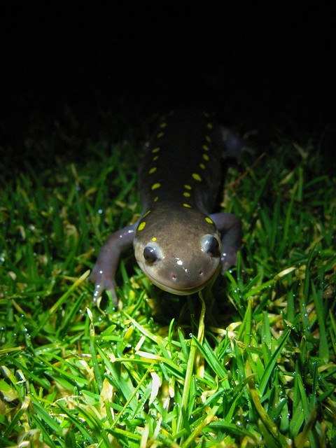 salamanders a night at the phi The salamander, as an elemental, incorporates aspects of both its physical and astral beings in that it is a creature who is able to live in fire because its icy body continuously extinguishes the flames.