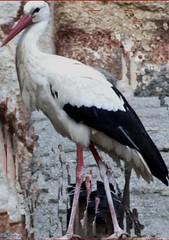 marabou stork(0.0), animal(1.0), fauna(1.0), ciconiiformes(1.0), white stork(1.0), beak(1.0), bird(1.0), wildlife(1.0),