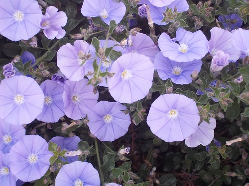 plants_flowers_morning-glory_purple_2