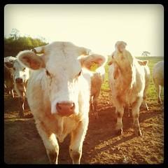 Visite des vaches. On compte les veaux.