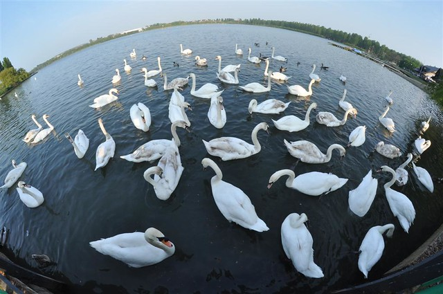Cisnes en el Lago, ... saben exactamente los puntos donde les puedes dar comida Willen Lake de Milton Keynes, más que un lago ... un estilo de vida - 5640440375 2cf69e3d3f z - Willen Lake de Milton Keynes, más que un lago … un estilo de vida