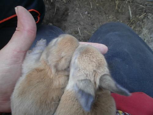 When do bunnies get their ears?
