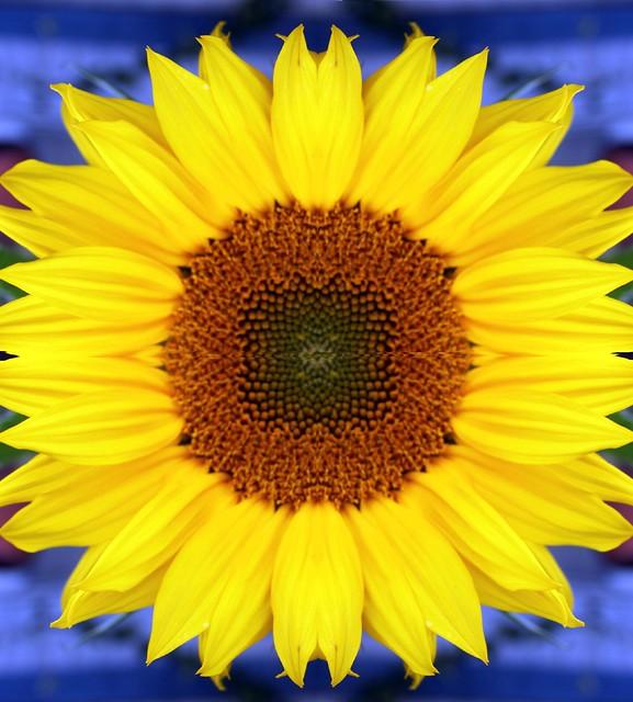 sunflower squared seriously symmetrically sustained sibilant symbolism ssssssssssssssssss. Black Bedroom Furniture Sets. Home Design Ideas