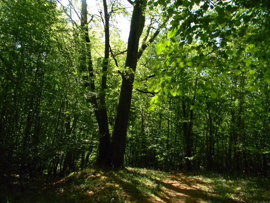 Split tree Ockley to Warnham