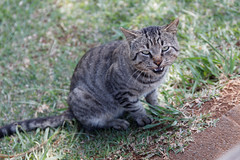 animal, tabby cat, grass, small to medium-sized cats, pet, mammal, european shorthair, pixie-bob, fauna, cat, wild cat, whiskers, bobcat, domestic short-haired cat,