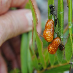 At long last, Atala pupae in our Jungle garden!