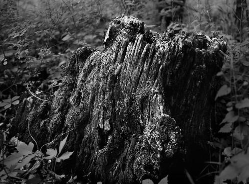 test usa tree iso100 hiking manhattan ks trail deadtree stump kansas 4x5 lf prairie largeformat acros toyo konzaprairie konza acros100 ddx woodedarea epsonperfectionv750pro konzaprairietrail toyoaii 150mmaposinonarn