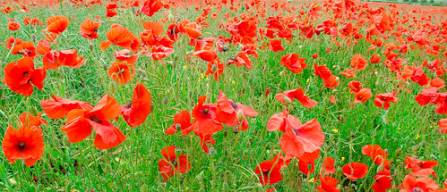 Poppy field near Langton, North Yorkshire-7. By Thomas Tolkien (tomtolkien) on Flickr. Used unmodified under CC-BY 2.0 license.