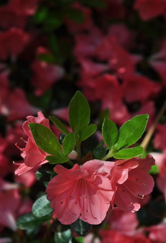 Rhododendron 'Salmon Sunrise' (1)