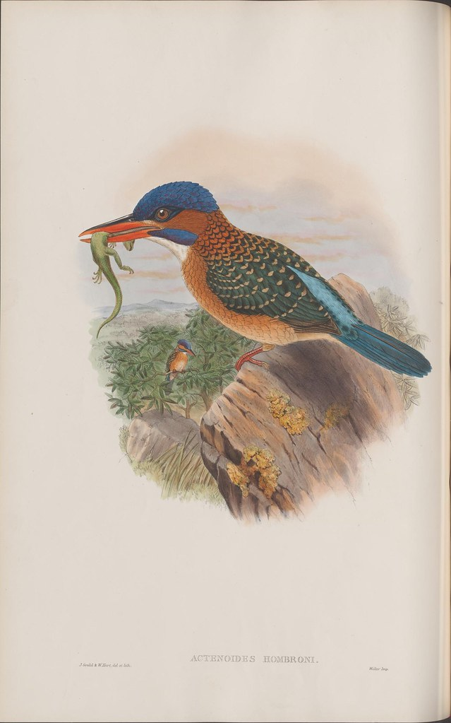 lithograph of blue/brown/green kingfisher sitting on a rock with a lizard in its beak