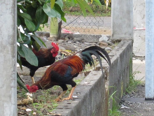 Feral roosters in Tahiti.
