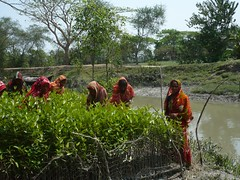 Women tending the mangrove seedlings