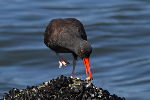 IMG_4227cres, black oystercatcher at work