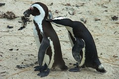 Penguins Grooming at Boulder Beach