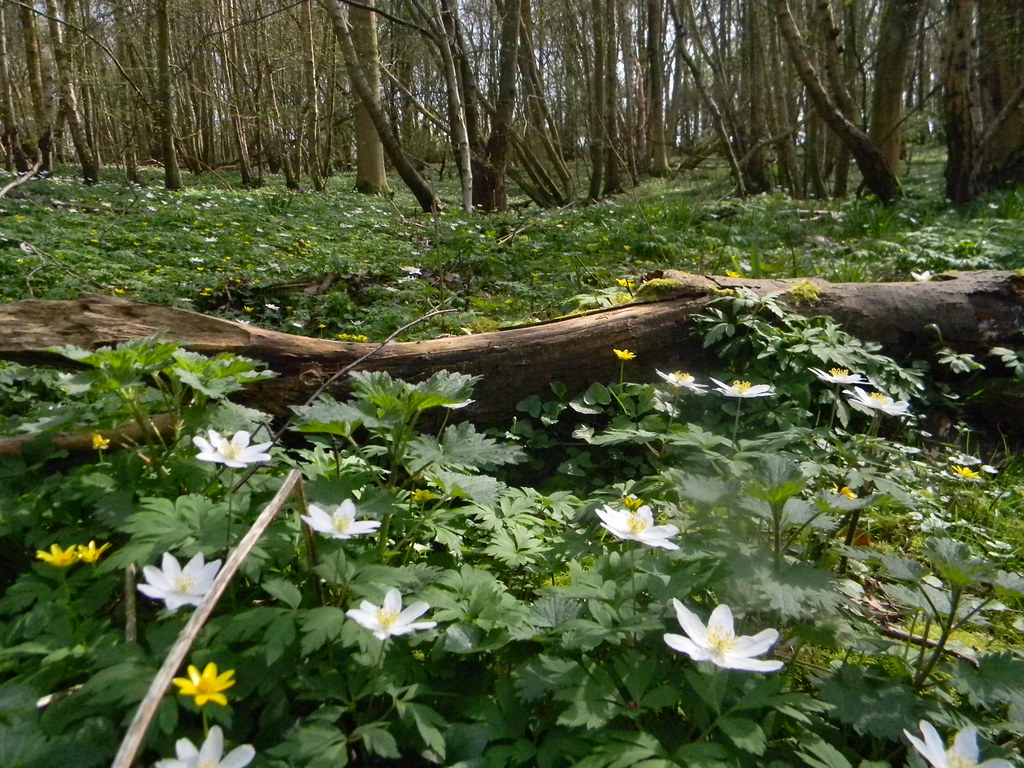Wood anenomes Robertsbridge circular (short)