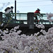 Cherry blossoms in Waterfront Park-11-9