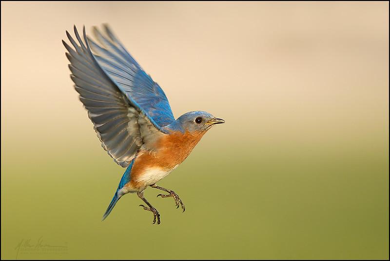 Eastern bluebird in flight - photo#9