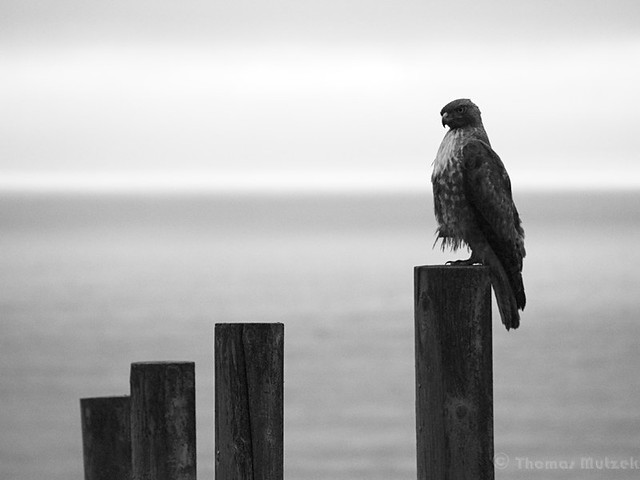 Hawk, Pacifica, California, April 2011