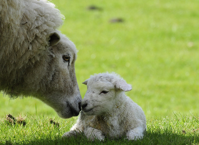 Mother and new born Lamb