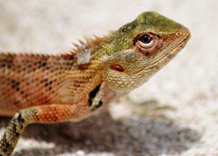 green lizard(0.0), agama(1.0), animal(1.0), reptile(1.0), lizard(1.0), macro photography(1.0), fauna(1.0), close-up(1.0), lacerta(1.0), lacertidae(1.0), dactyloidae(1.0), scaled reptile(1.0), wildlife(1.0),