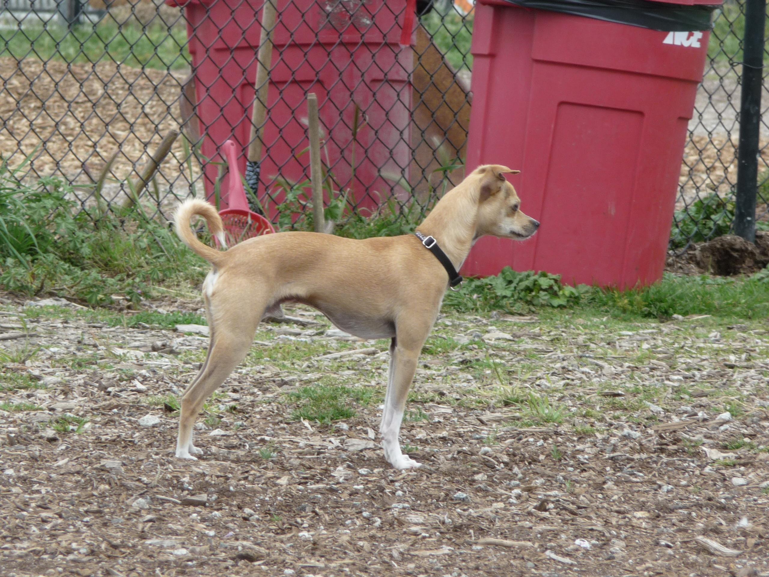 Deer Chihuahua Breeds Landrace/deer chihuahua: