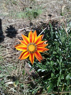 Flower on friends property at Welshmans Reef near Maldon