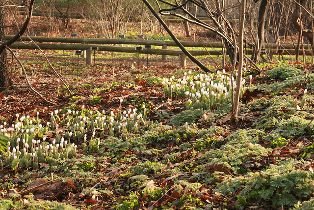A large Sanguinaria canadensis colony in the Native Flora Garden. Photo by Uli Lorimer.