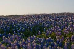 prairie, flower, field, plant, nature, lavender, wildflower, meadow, bluebonnet,