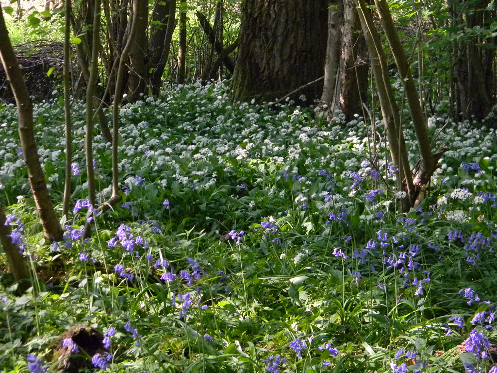 Bluebells n garlic Frant to Tunbridge Wells