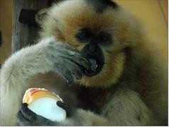 gibbon, nose, animal, monkey, mammal, fauna, new world monkey,