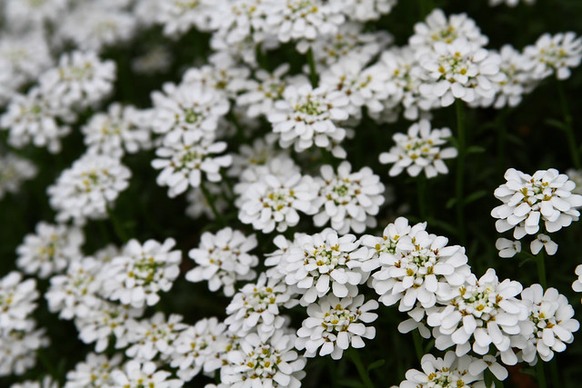 Candytuft Flower Meaning Candytuft Flowers