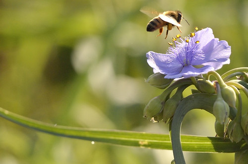 Worker Bee and Virginia Spiderwort