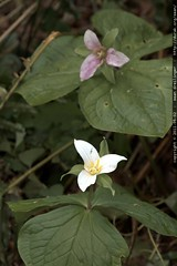 pink & white trillium flowers growing outside our be…