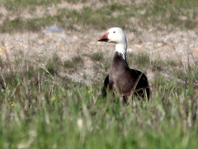 Snow Goose in front yard 20110508