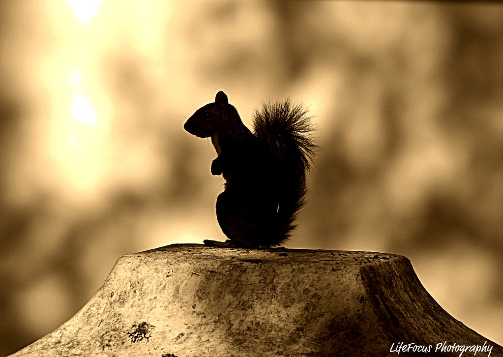 squirrel in sepia profile