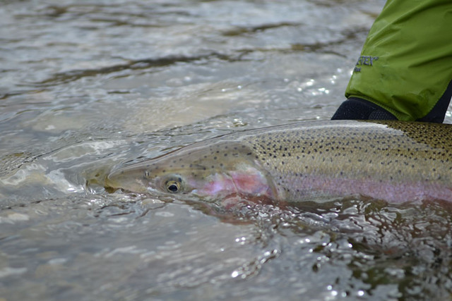 Male steelhead ready for release