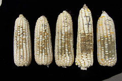 Thu, 06/21/2007 - 11:38 - White maize cobs with different severities of Aspergillus colonization. Photo by IITA. (file name: AFLA_014)